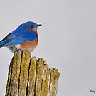Eastern Bluebird by Nancy Barrett