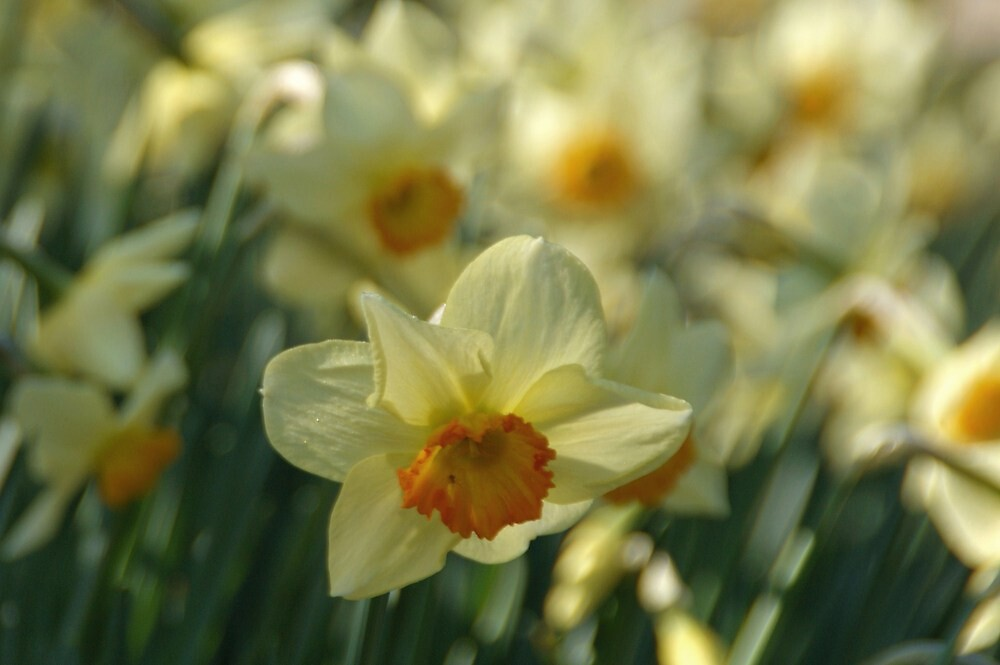 Daffodils by marens