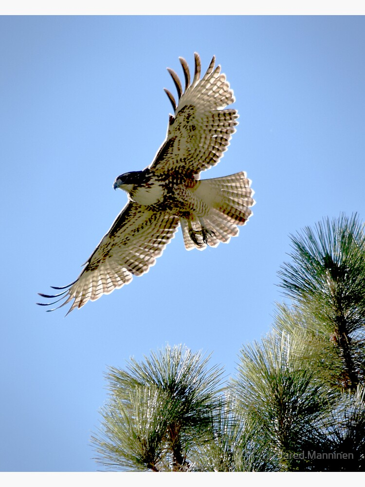 Red-Tailed Hawk Leaping from a Jeffrey Pine by JaredManninen