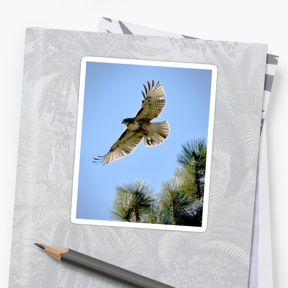 Red-Tailed Hawk Leaping from a Jeffrey Pine Sticker