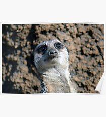 Amusing Meerkat Poster