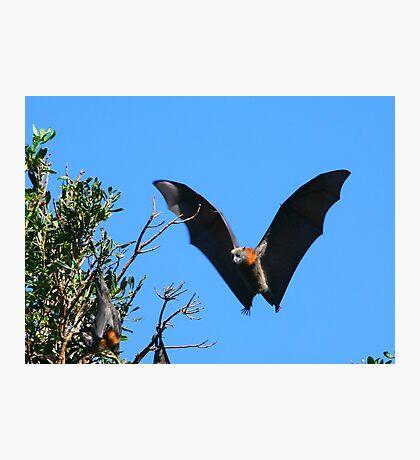 Grey-headed Flying Fox Photographic Print