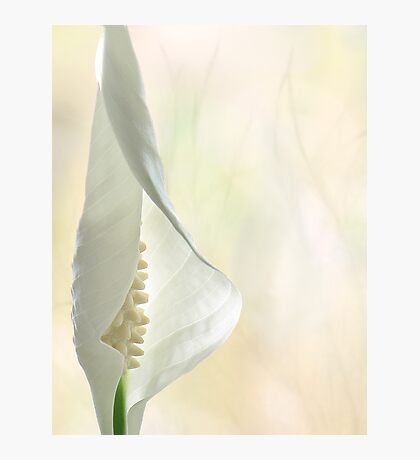 Peace Lily 1/2 Photographic Print