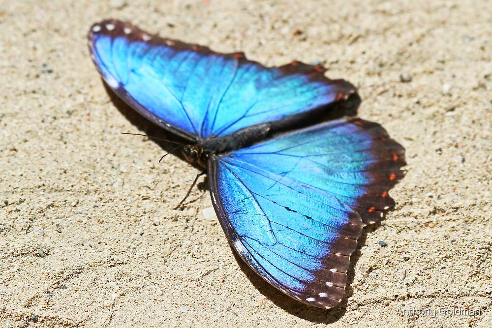 Blue morpho butterfly by Anthony Goldman