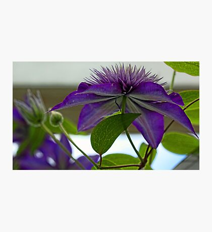 -Multi-Blue Clematis Photographic Print