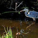 Great Blue Heron by Jason Pepe