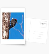 Female Pileated Woodpeckers Postcards