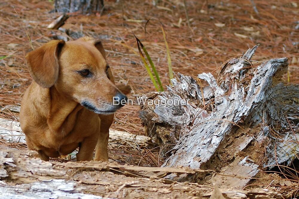 Oscar surveys piney woods by Ben Waggoner