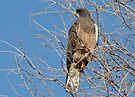 Swainson's Hawk ~ Migratory  by Kimberly Chadwick