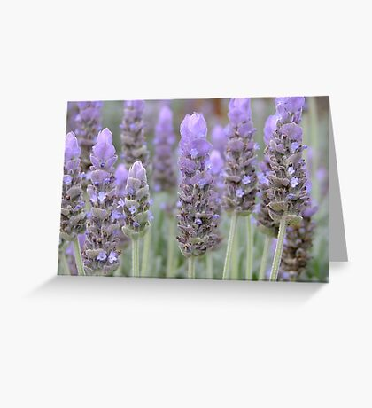 Lavender Blues! Greeting Card