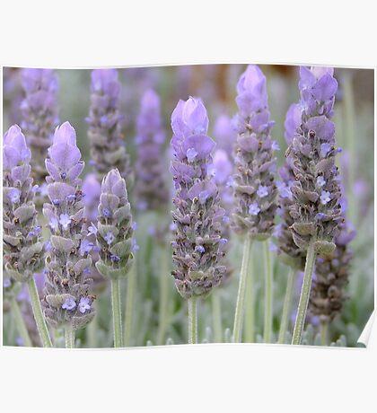 Lavender Blues! Poster