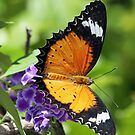Another pretty butterfly! by Anthony Goldman