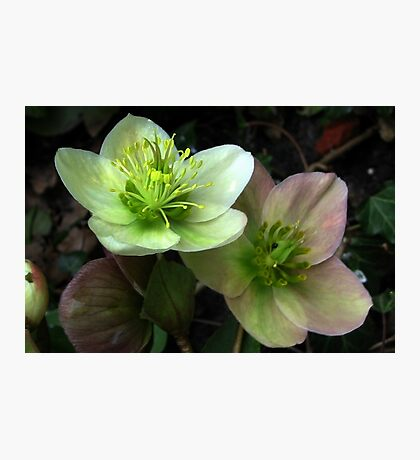 Two Hellebore Photographic Print
