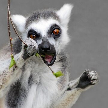 Ring tailed Lemur by whiteleopard