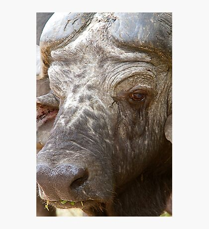 African Buffalo Photographic Print