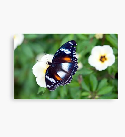 Common Eggfly Butterfly in my Innisfail garden Canvas Print
