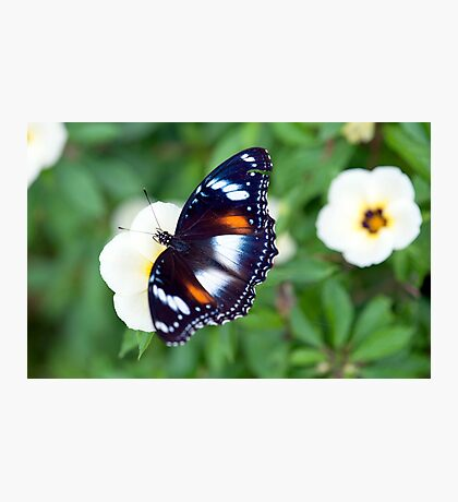 Common Eggfly Butterfly in my Innisfail garden Photographic Print