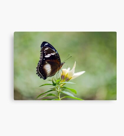 Sweet As - butterfly in Innisfail. Canvas Print