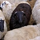 The black sheep is saved. by Edward  manley