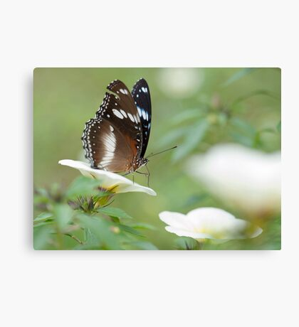The Poser - common crow butterfly Canvas Print