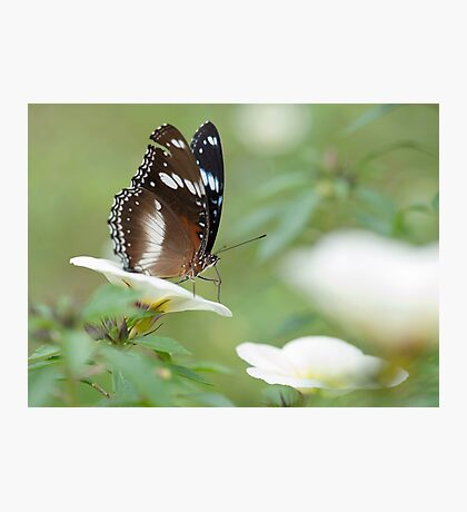 The Poser - common crow butterfly Photographic Print