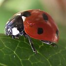 Ladybird, Ladybird fly away home by Stephen Willmer