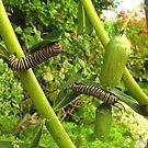 Monarch by bobby1