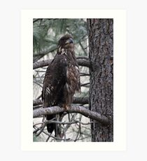 Juvenile Eagle Art Print