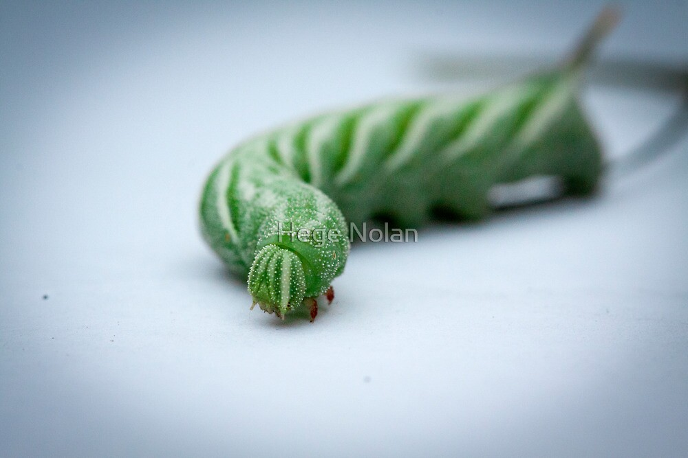 Horn Worm by Hege Nolan