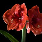 Fancy Amaryllis by Endre