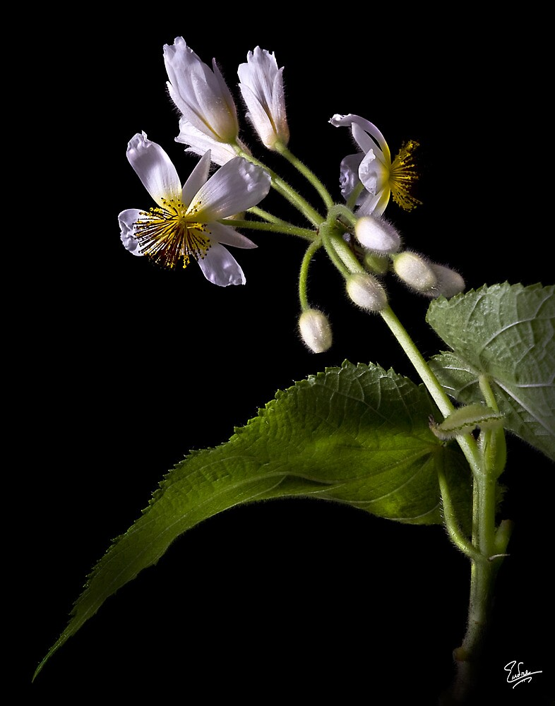Sparmannia Africana by Endre