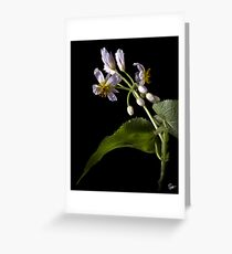 Sparmannia Africana Greeting Card