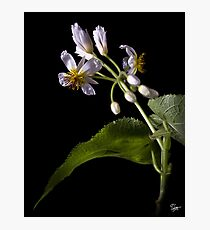 Sparmannia Africana Photographic Print