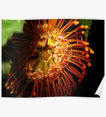 Orange Queen Protea (Grevillea) Poster