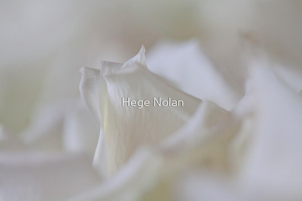 White roses by Hege Nolan