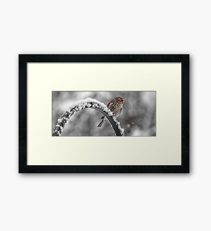 A Red Poll -- Waiting Out The Storm Framed Print