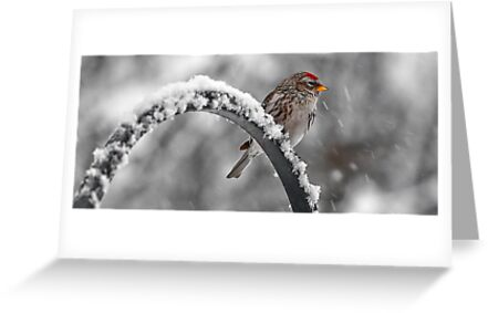 A Red Poll -- Waiting Out The Storm by T.J. Martin