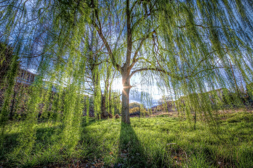 Weep Willow, Weep by Bob Larson