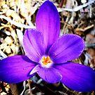 1st Spring flower in my yard! by Allison  Flores