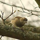Female Chaffinch  by larry flewers