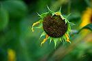 Fade Away ~ Wild Sunflower by Vicki Pelham