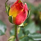Rosebud Beauty by Heather Friedman