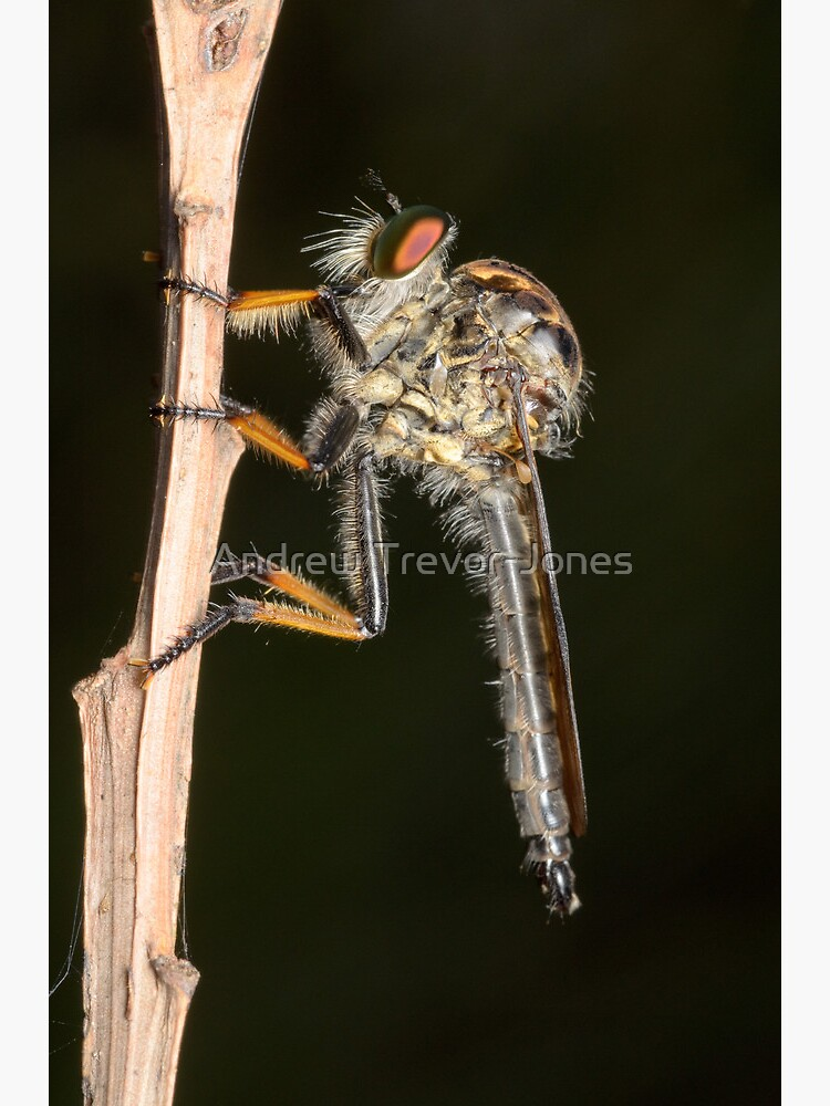 Common Yellow Robberfly - Ommatius sp. by andrewtj