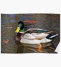 Male Mallard Duck ~ Drake Poster