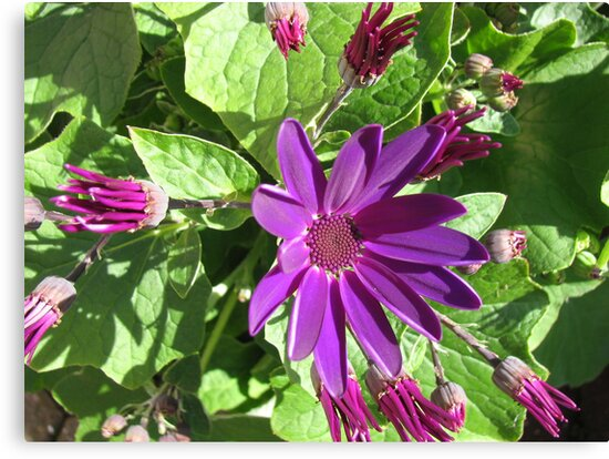 Fascinating Purple - Sunlit Cineraria Flower and Buds by BlueMoonRose
