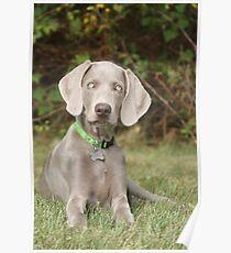 Weimeraner Puppy Eats Grass Poster