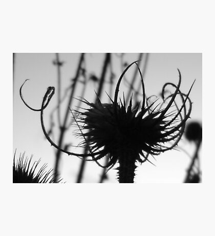 Teasel head (B&W detail) Photographic Print