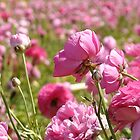 A Sea of Pink by csouzas
