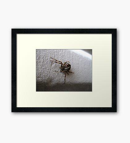 Araneus diadematus female (garden orb-weaver spider)  Framed Print