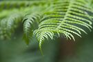Fern Leaves by Timo Balk